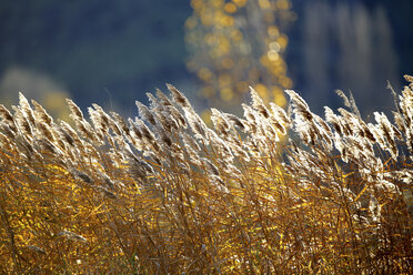 Spain, Wicker cultivation in Canamares in autumn - DSGF01723