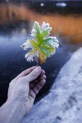 Norway, Lofoten Islands, man's hand holding frozen leaf - WVF01063