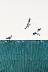 Norway, Lofoten Islands, Ballstad, three seagulls - WVF01069