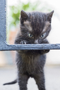 Close-up of cute kitten rearing up on metal gate - MASF00369