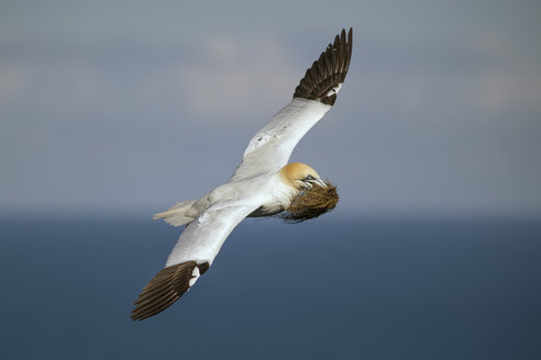 Scotland, flying Northern gannet with nesting material - MJOF01486