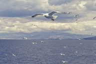 Greece, flying seagulls - MAMF00006