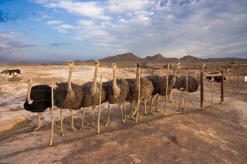 Africa, South Africa, Western Cape, ostrich farm - WE00434