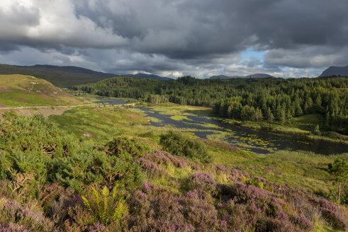 United Kingdom, Scotland, Sutherland, Assynt, Lairg, flowering heather near Kylestrome - LBF01892