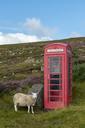 United Kingdom, Scotland, Highland, telephone booth and sheep - LBF01895