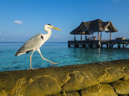 Maledives, Ross Atoll, grey heron, Ardea cinerea, walking on bank reinforcement - AMF05685