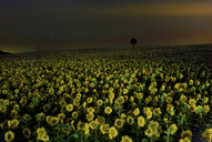 Scenic view of sunflowers growing on field against sky at dusk - CAVF35577