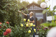 Male gardener picking fruits from tree at yard - MASF02331