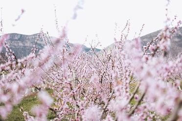 Spain, Lleida, Cherry blossoms - OCAF00211