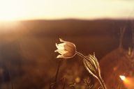 Close-up of flower blooming on field during sunset - CAVF36463