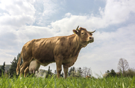 Germany, Dairy cow standing on pasture - PAF01796