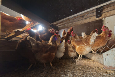 Germany, Chicken on farm in chicken coop - PAF01811