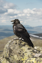 Close-up of raven perching on rock during sunny day - MASF03203