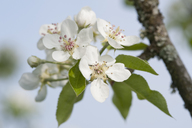 White apple blossoms - CRF02775