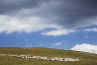 Flock of sheep on field against cloudy sky - CAVF37543