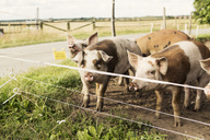 Pigs on field by road at farm - MASF03479