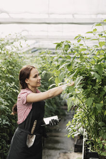 Female farmer holding digital tablet while working in greenhouse - MASF03638