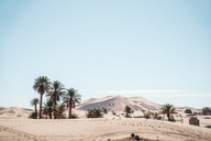 Palm trees growing on desert against sky during sunny day - CAVF38283