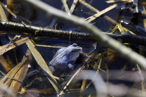 Blue frog in pond, spawning period - JTF00980