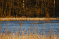 Germany, lake with swan in the evening light - JTF00983