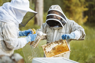 Beekeeper holding honeycomb while working with colleague on field - MASF04454