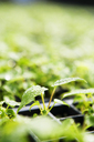Plants growing in seedling trays - CAVF38836