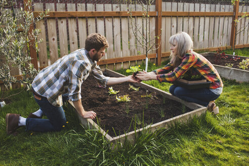 Couple planting in raised bed while gardening at backyard - CAVF38929