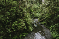 Stream flowing through forest at Olympic National Park - CAVF40051