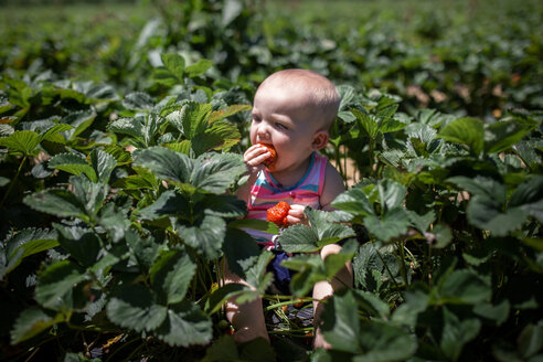 High angle view of baby girl eating strawberries while sitting in farm during summer - CAVF42398