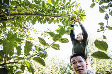 Father carrying son shoulders while harvesting in orchard - CAVF42971
