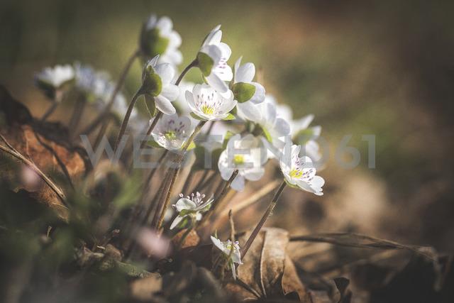 Blossoms of white Liverworts - ASCF00847