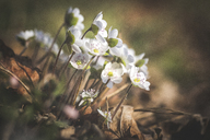 Blossoms of white Liverworts - ASCF00847