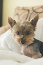 Portrait of yorkshire terrier - SKCF00428