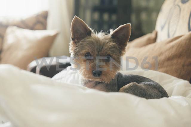 Portrait of yorkshire terrier lying on dog pillow - SKCF00431