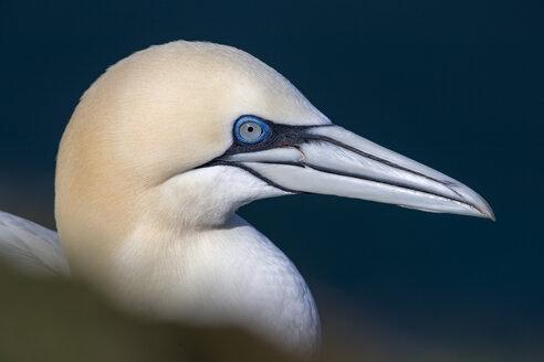 Portrait of gannet, Morus bassanus - MJOF01487