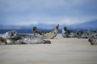 Scotland, Grey seals lying on the beach - MJOF01489