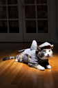 Cat in pet clothing sitting on hardwood floor at home - CAVF45811