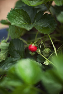 Close-up of strawberry growing on plant - CAVF46255