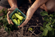 Overhead view of male farmer holding freshly harvested green chilies in container at farm - CAVF47421