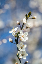 Twig of flowering plum, close-up - SARF03678