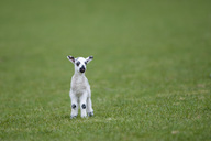 Lamb on a meadow - MJOF01493