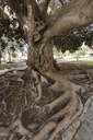 Spain, Valencia, old tree - FCF01363