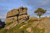 United Kingdom, England, Devon, Dartmoor National Park, Rocks and hawthorn tree at Holwell Tor - RUEF01866