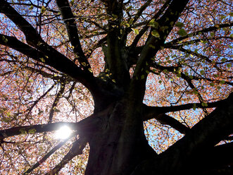 Sun shining through branches of a copper beech tree - JTF00990