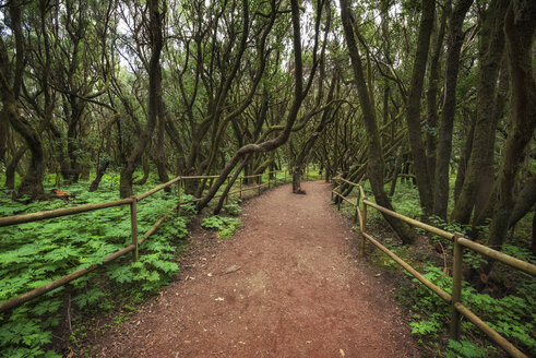 Spain, Canary Islands, La Gomera, Laurisilva, Garajonay National Park - DHCF00186