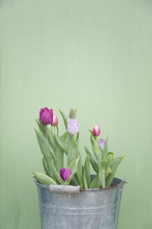 Tulips in metal bucket - GISF00332