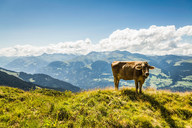 Cow grazing on grassy hillside - CUF00653