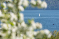 Germany, Baden-Wuerttemberg, Sipplingen, Lake Constance, Sailing boat and blossoms - SH02041