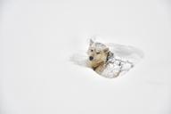 Greenland, husky lying in snow - ALRF01209