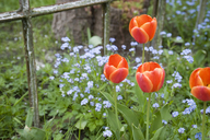 Germany, Hamburg, Altes Land, tulips and forget-me-not in front of rusty window in garden - GISF00333